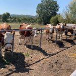 МИСИЦЕ ЈУЧЕ ДЕФИЛОВАЛЕ СТОЧНОМ ПИЈАЦОМ КРАЈ МОРАВЕ: Изабране најлепше краве, овце и козе Велике Плане